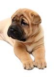 Cucciolo di pei di Shar Fotografia Stock Libera da Diritti