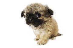 Cucciolo di Pekingese Immagine Stock