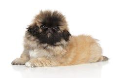 Cucciolo di Pekingese Fotografia Stock