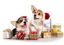 Cucciolo di Pembroke Welsh Corgi fotografia stock