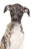 Cucciolo di piccolo levriero inglese Fotografia Stock Libera da Diritti