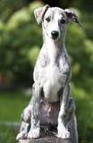 Cucciolo di piccolo levriero inglese, 3 mesi Immagine Stock Libera da Diritti