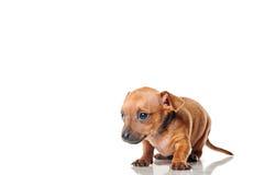 Cucciolo di Pincher Immagine Stock