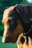 Cucciolo di Pincher del doberman Fotografia Stock Libera da Diritti