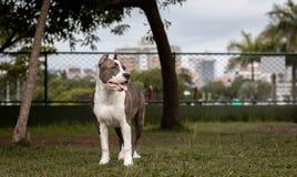 Cucciolo di Pitbull che guarda il parco intorno immagine stock