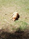 Cucciolo di Pitbull fotografia stock