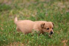 Cucciolo di Portugalian Podengo Fotografia Stock Libera da Diritti