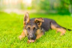 Cucciolo di razza del pastore tedesco in erba verde Fotografia Stock