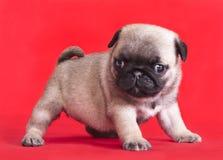 Cucciolo di razza del pug Fotografia Stock