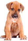 Cucciolo di Rhodesian Ridgeback Immagini Stock Libere da Diritti