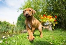 Cucciolo di Rhodesian Ridgeback che cammina nell'erba fotografia stock libera da diritti