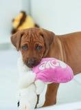 Cucciolo di Rhodesian Ridgeback che gioca con il cuscino Fotografie Stock