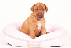 Cucciolo di Rhodesian Ridgeback in dogbed in Immagine Stock