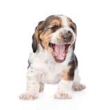 Cucciolo di risata di basset hound Isolato su priorità bassa bianca fotografia stock libera da diritti