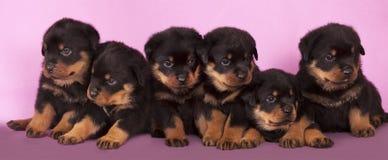 Cucciolo di Rottweiler Immagine Stock