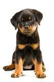 Cucciolo di Rottweiler Fotografia Stock