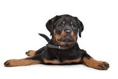 Cucciolo di Rottweiler Immagine Stock Libera da Diritti