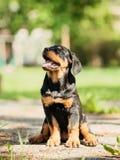 Cucciolo di Rottweiler Fotografia Stock Libera da Diritti