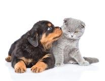 Cucciolo di Rottweiler che bacia gattino scozzese Isolato su bianco immagini stock