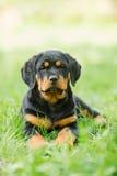 Cucciolo di Rottweiler su un'erba Fotografia Stock