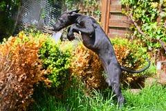 Cucciolo di salto del sighthound fotografia stock