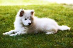 Cucciolo di samoiedo di Llittle Fotografia Stock