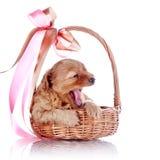Cucciolo di sbadiglio in un canestro con un arco fotografia stock