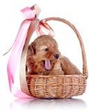Cucciolo di sbadiglio in un canestro con un arco. fotografia stock