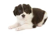 Cucciolo di seduta del cane pastore Fotografia Stock Libera da Diritti