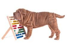 Cucciolo di Sharpei che gioca con l'abbaco Fotografia Stock Libera da Diritti