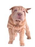 Cucciolo di Sharpei che si leva in piedi esaminante macchina fotografica Fotografia Stock Libera da Diritti