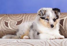 Cucciolo di Sheltie fotografie stock libere da diritti