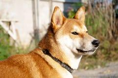 Cucciolo di Shiba Inu fotografie stock libere da diritti