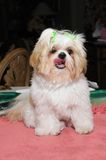 Cucciolo di Shih Tzu Immagini Stock Libere da Diritti