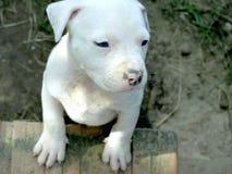 Cucciolo di stafford dell'albino immagini stock libere da diritti