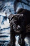 Cucciolo di stupore della razza di Cane Corso Fotografie Stock