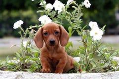 Cucciolo di Teckel Fotografia Stock Libera da Diritti