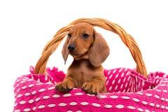 Cucciolo di Teckel Immagine Stock