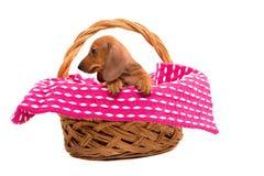 Cucciolo di Teckel Fotografie Stock
