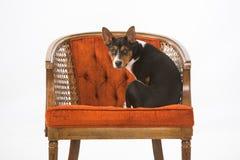 Cucciolo di Terrier di ratto sulla sedia Fotografia Stock Libera da Diritti