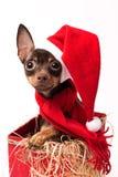 Cucciolo di Terrier in una scatola di Natale rossa Fotografia Stock