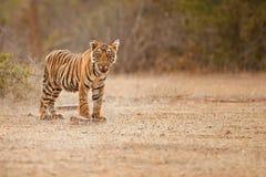 Cucciolo di tigre ad una bella luce dorata nell'habitat della natura del parco nazionale di Ranthambhore fotografia stock libera da diritti