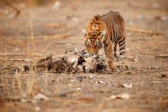 Cucciolo di tigre ad una bella luce nell'habitat della natura del parco nazionale di Ranthambhore Immagini Stock Libere da Diritti