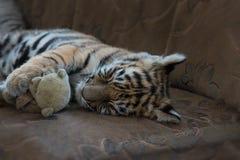 Cucciolo di tigre che dorme, tempo per un pelo Fotografie Stock Libere da Diritti
