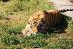 Cucciolo di tigre che si trova sull'erba immagini stock