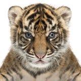 Cucciolo di tigre di Sumatran, sumatrae del Tigri della panthera, vecchio 3 settimane, nel franco Fotografia Stock