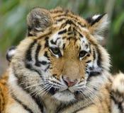 Cucciolo di tigre sveglio con l'espressione pensierosa Fotografie Stock