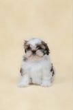 Cucciolo di tzu di Shih Immagine Stock