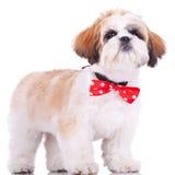 Cucciolo di tzu di Shih, da portare un arco rosso del collo Immagini Stock Libere da Diritti