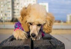 Cucciolo di un barboncino, resto che si trova su un fascio di legno dpet Fotografia Stock Libera da Diritti